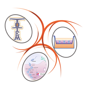 TOTEM   TOxicologie Testiculaire ex vivo de Micropolluants