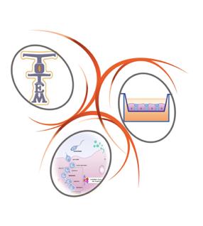 TOTEM – TOxicologie Testiculaire ex vivo de Micropolluants